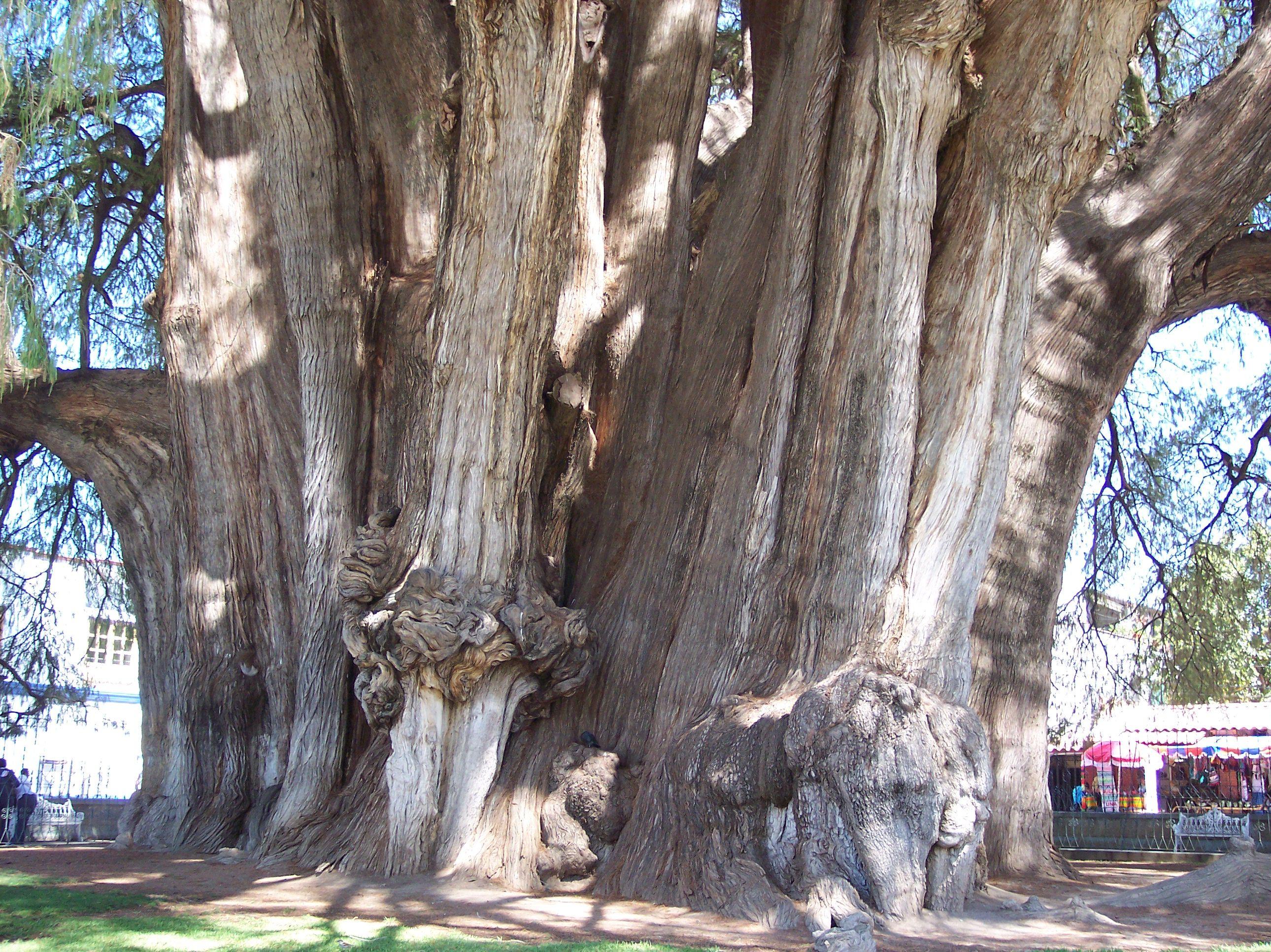 Les arbres les plus grands et les plus gros du monde for Les plus grands musees du monde