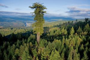 hyperion-arbre-le-plus-grand-du-monde